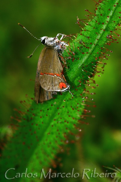 Butterfly on Carnivorous Plant cod.3701