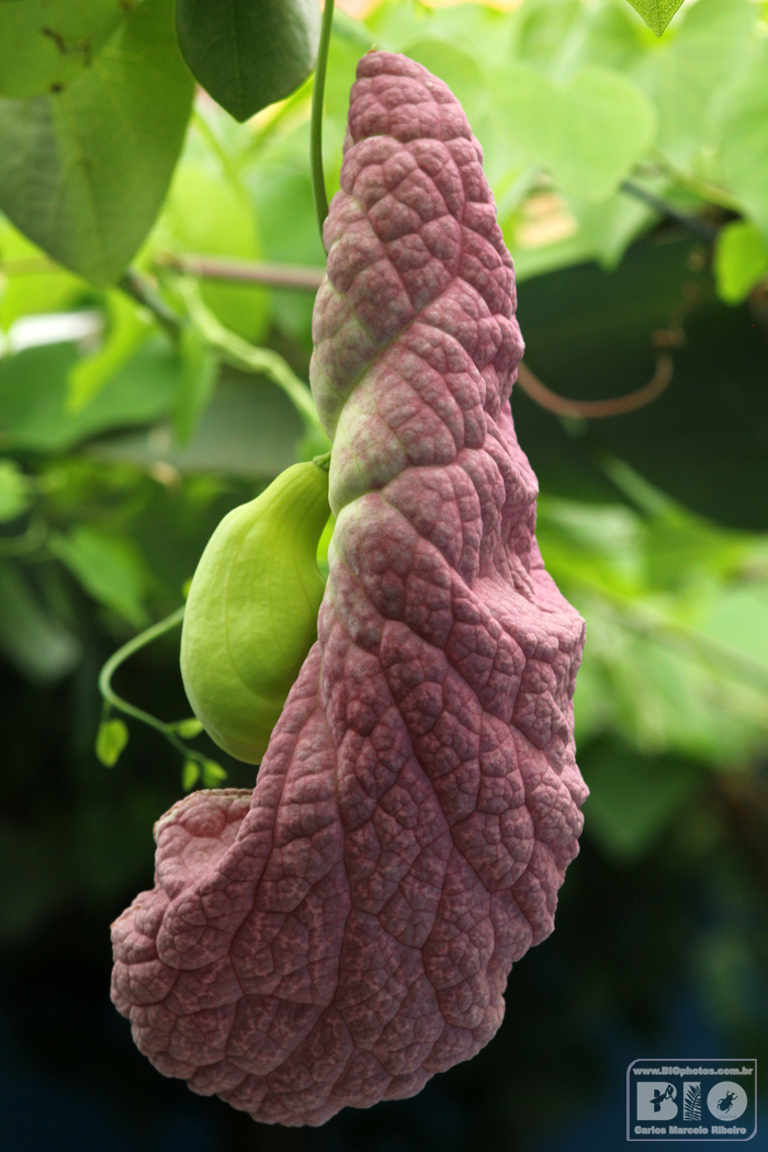 Aristolochia BIOphotos Nature Stock Photos cod6640