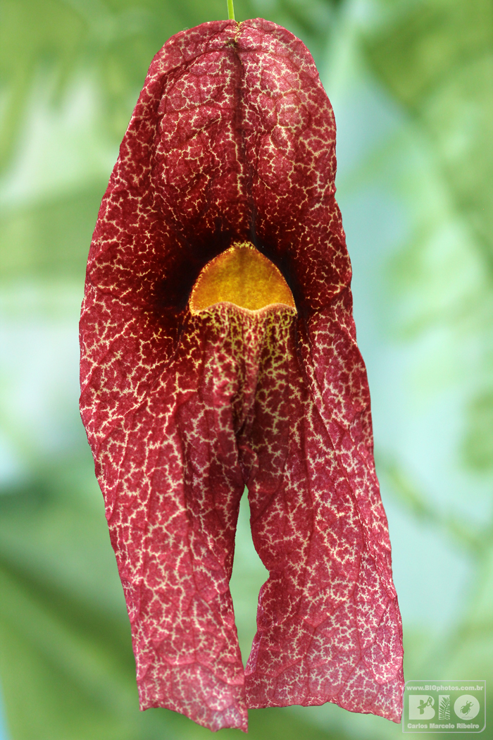 Aristolochia BIOphotos Nature Stock Photos cod6661