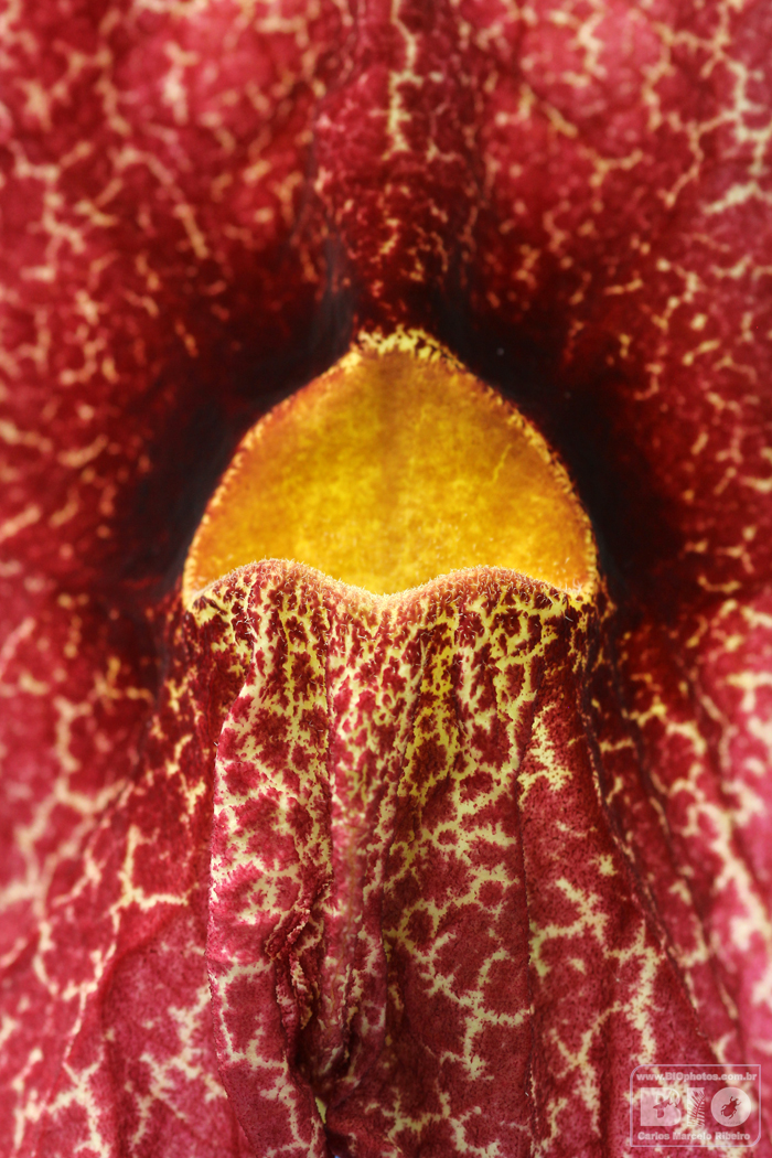 Aristolochia BIOphotos Nature Stock Photos cod6683