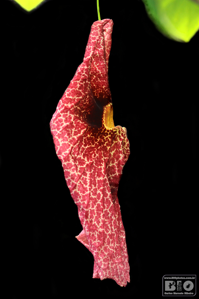 Aristolochia BIOphotos Nature Stock Photos cod6770