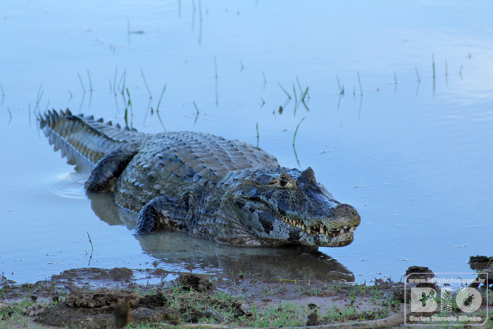 Jacare Pantanal MS cod4069