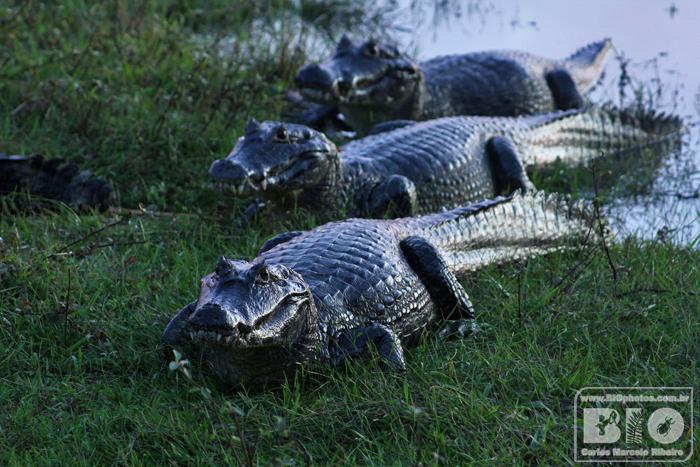 Jacare Pantanal MS cod4281